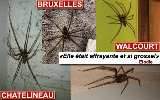 araignée géante belgique