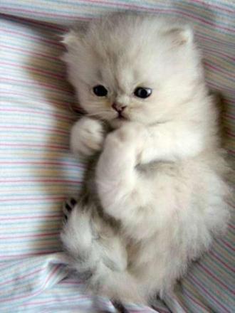 bébé chat persan