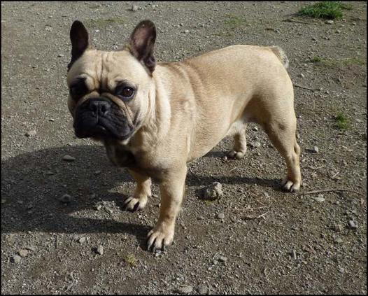 bouledogue francais sable