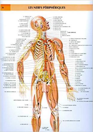cartographie des nerfs du corps humain