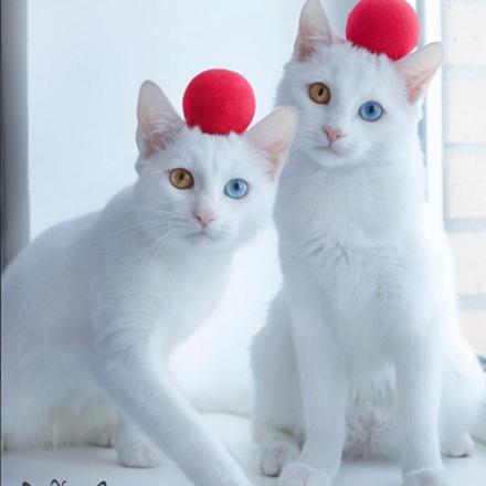 chat jumeaux