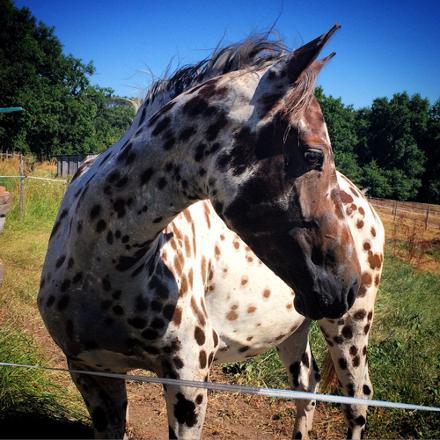 cheval appaloosa