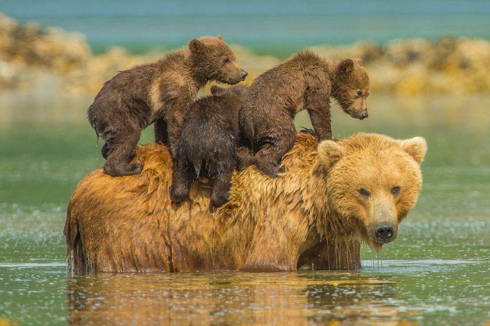 famille des ours