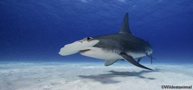 edition requin marteau