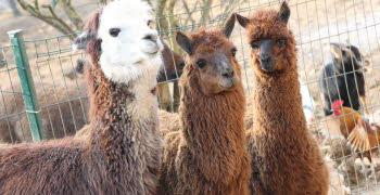 famille de lama