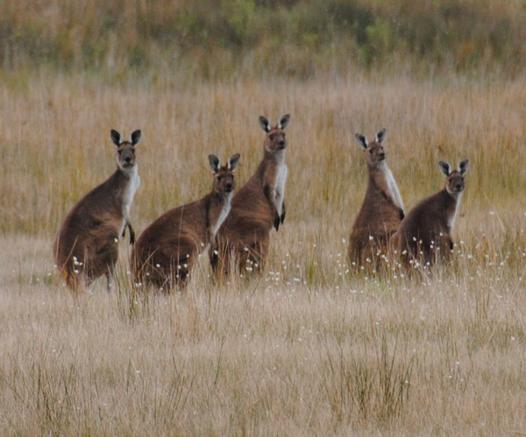 famille du kangourou