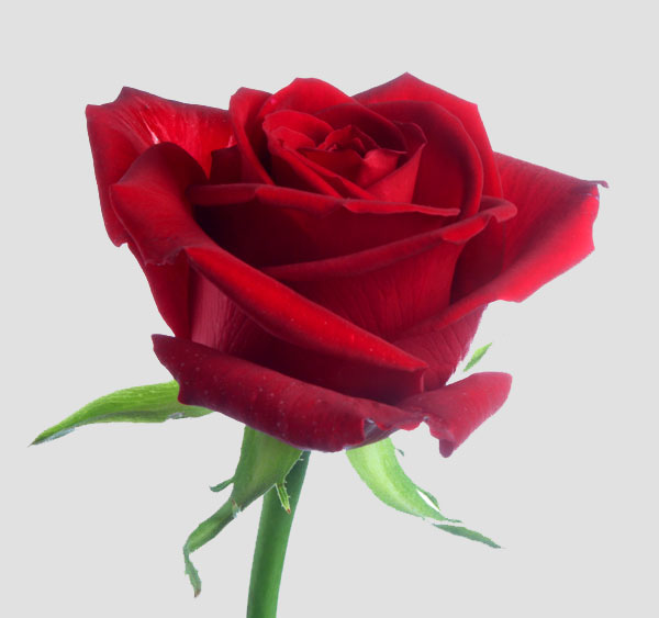 fleur la rose