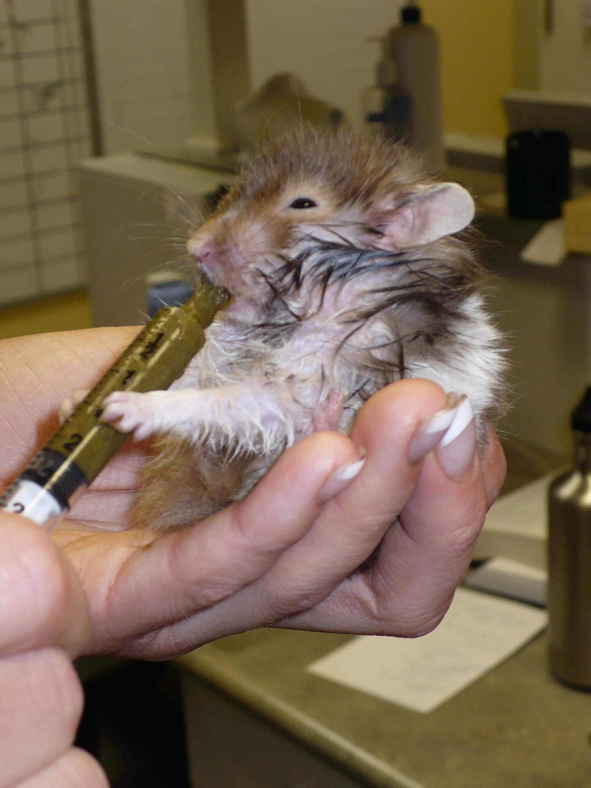 hamster enrhumé