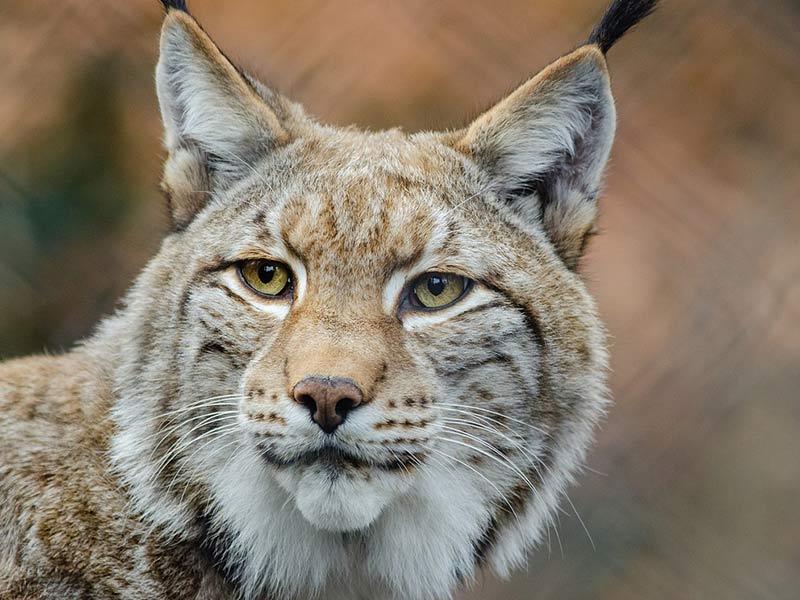 la lynx