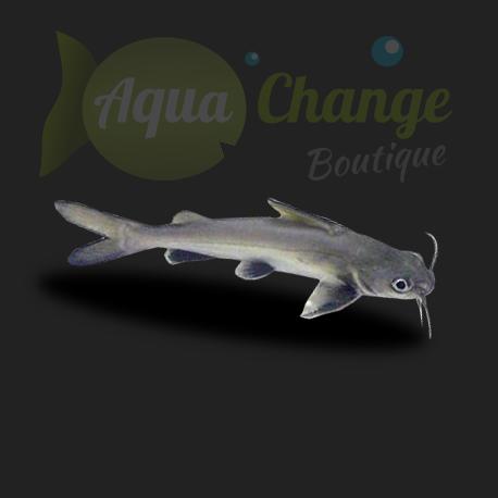 mini requin