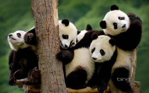 panda famille