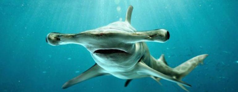 requin marteau bébé